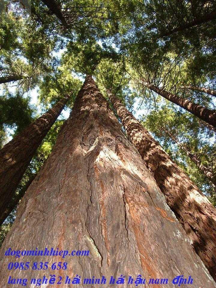 Gỗ gụ là gì? Cách phân biệt gỗ gụ ta, gụ Nam Phi và gụ mật